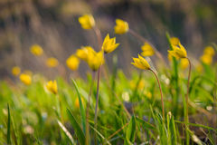 Yellow spring flowers. Royalty Free Stock Photography