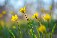 Yellow spring flowers. Stock Images
