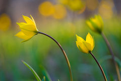 Yellow spring flowers. Royalty Free Stock Image