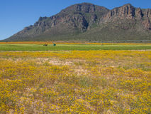 Yellow spring flowers with mountains, tractor, agricultural sprinkler in background. Field of yellow spring flowers with mountains, tractor and agricultural Stock Photography