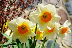 Yellow spring flowers of narcissus daffodils in garden with bright backlight sun rays. Beautiful yellow spring flowers of narcissus daffodils in garden with stock photos