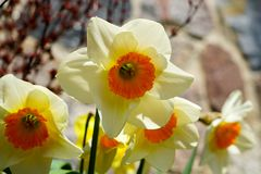 Yellow spring flowers of narcissus daffodils in garden with bright backlight sun rays. Beautiful yellow spring flowers of narcissus daffodils in garden with stock images
