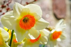 Yellow spring flowers of narcissus daffodils in garden with bright backlight sun rays. Beautiful yellow spring flowers of narcissus daffodils in garden with royalty free stock photography