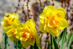 Yellow spring flowers of narcissus daffodils in garden with bright backlight sun rays. Beautiful yellow spring flowers of narcissus daffodils in garden with royalty free stock image