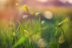Yellow spring flowers. Royalty Free Stock Photos