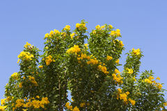 Yellow spring flowers on the tree over blue sky photo Royalty Free Stock Photography