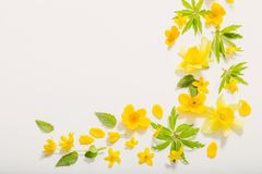 Yellow  flowers on white background. Yellow spring flowers on white background royalty free stock images