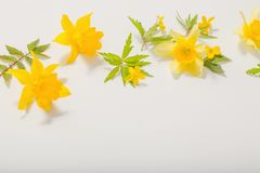 Yellow  flowers on white background. Yellow spring flowers on white background royalty free stock photos