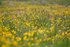 Yellow spring meadow. Yellow spring flowers in a meadow. Taken with a shallow depth of field Royalty Free Stock Image