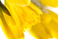 Yellow spring narcissus on white background Stock Images