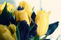 Yellow spring oroginal pretty tulips royalty free stock image