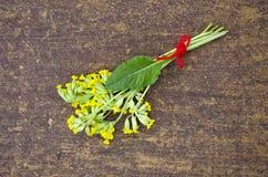Yellow spring primrose cowslip medical flower bunch Royalty Free Stock Image