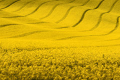 Yellow spring landscape.Rapeseed field with wavy abstract landscape pattern. Yellow rapeseed spring field with wavy abstract landscape pattern. Yellow undulating Stock Image