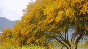 Yellow spring tree. Beautiful yellow tree in yellow flowers field stock video footage