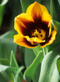 Yellow Spring Tulip. Detail of a yellow tulip blooming early in spring, Keukenhof Gardens, Lisse, the Netherlands royalty free stock images