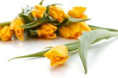 Yellow spring tulips Royalty Free Stock Image