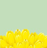 Yellow spring tulips Stock Photography