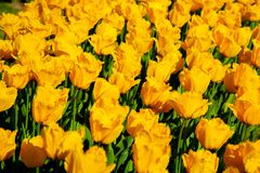Yellow spring tulips blooming in a garden. Yellow spring tulips blooming in a spring garden stock photography