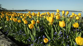 Yellow Spring Tulips, English Bay, Vancouver. Dolly shot past tulip blossoms at English Bay beach on a sunny, spring day. Vancouver, British Columbia, Canada stock footage