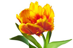 Yellow Spring Tulips. Spring tulips flower isolated on white background Stock Image
