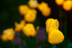 Yellow spring tulips Stock Image