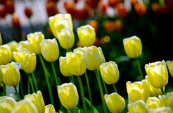 Yellow spring tulips in the sun Stock Image