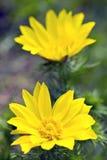 Yellow spring wild flower Stock Photos