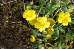 Yellow spring wildflower Potentilla incana Stock Photo