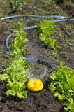 Yellow sprinkler watering fresh lettuce Stock Photos
