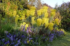 Yellow spurge and bluebells. In spring Stock Photography
