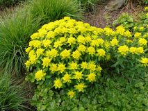 Yellow spurge. Many blossoms of yellow spurge Stock Image