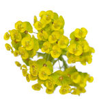 Yellow spurge Royalty Free Stock Photo