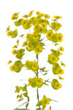 Yellow spurge Royalty Free Stock Photos