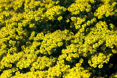 Yellow spurge. A wall of yellow spurge flowers Royalty Free Stock Photos