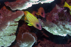 Yellow squirrelfish hidden Stock Image