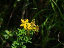 Yellow St. John`s Wort or Hypericum perforatum blossom close-up, selective focus, shallow DOF.  Stock Photo