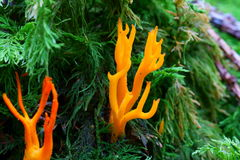 Yellow Stagshorn mushroom in conifer forest Stock Image