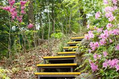 Yellow stair case with pink azalea flowers in the mountain. Forest stock image
