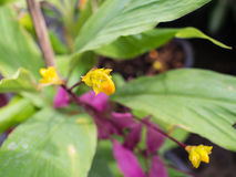 Yellow Stamens of The Globba Pink Flower Royalty Free Stock Images