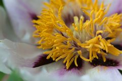 Yellow stamens of a large peonyn flower Royalty Free Stock Images