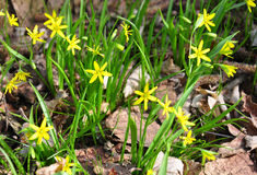 Yellow Star-of-Bethlehem (Gagea lutea) Royalty Free Stock Images