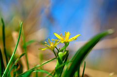 Yellow Star-of-Bethlehem Royalty Free Stock Photos