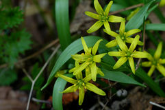 Yellow Star-of-Bethlehem in springtime Stock Images