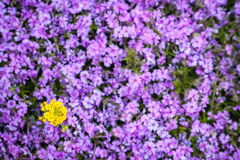 Yellow star flower and blur background. Purple blooming field with yellow star flower and blur background Royalty Free Stock Photo