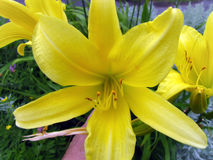 Yellow star gazer lily Royalty Free Stock Images