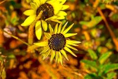 Yellow star shaped wildflower stock photo