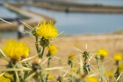 Yellow star thistle Centaurea solstitialis blooming on the shoreline of south San Francisco bay, Sunnyvale, California stock image