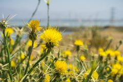 Yellow star thistle Centaurea solstitialis blooming on the shoreline of south San Francisco bay, Sunnyvale, California stock photography