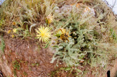 Yellow star-thistle in a protected area in Bulgaria royalty free stock image