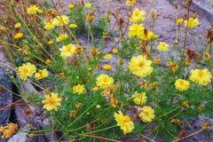 Free Yellow Starburst Flowers Stock Photos - 195082103